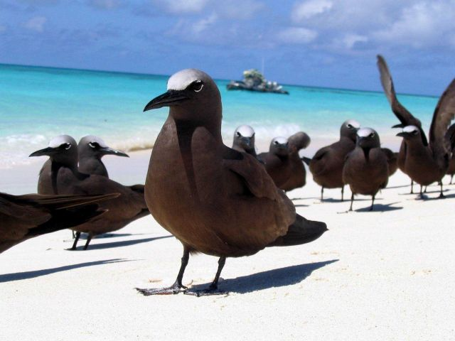 Brown noddy. Picture