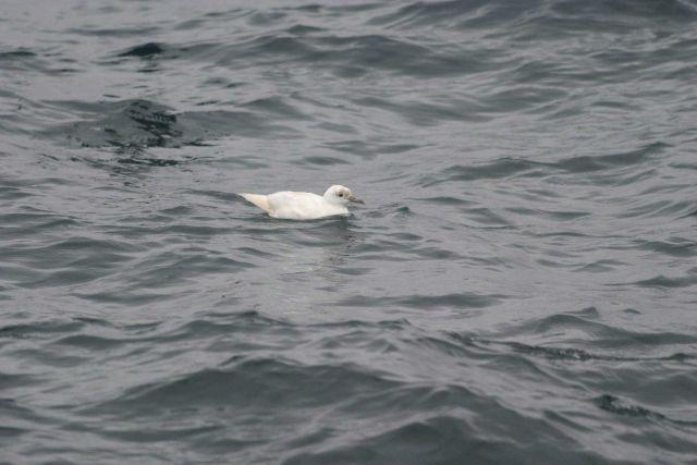 Atlantic marine bird. Picture