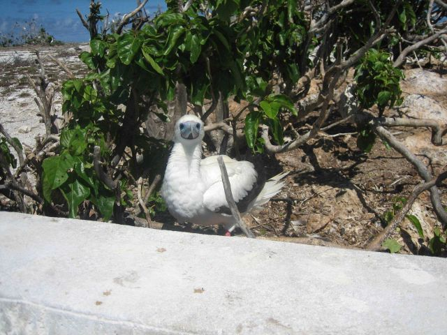 Booby chick. Picture
