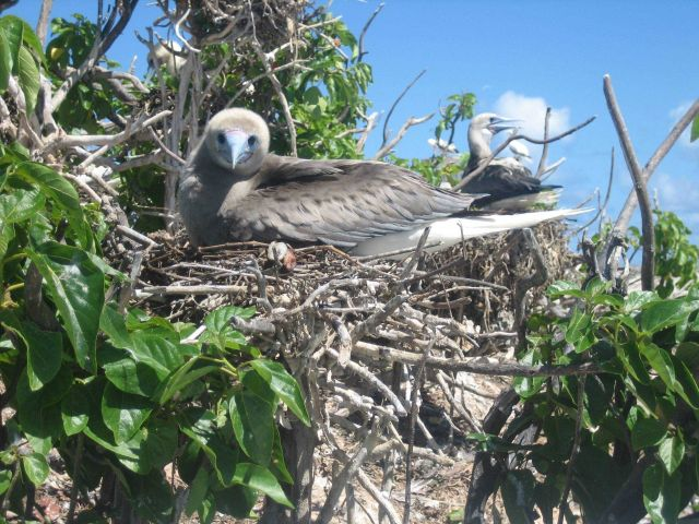 Booby chick that has nearly outgrown the nest. Picture