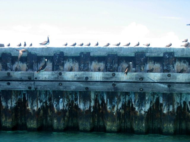 Boobies and brown noddies making use of the pier. Picture