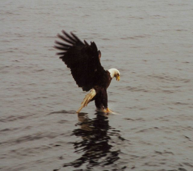 Bald eagle catching dinner. Picture