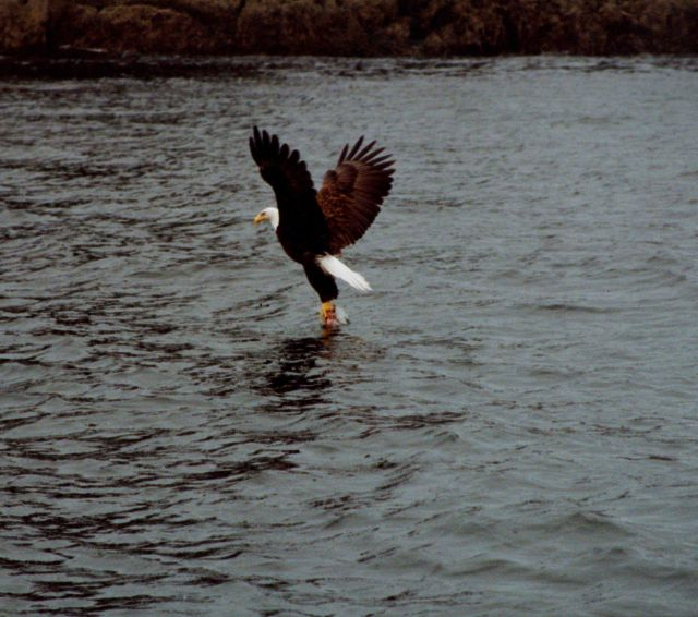 Bald eagle lifting fish from water. Picture