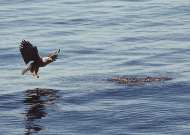 Eagle about to catch dinner. Picture