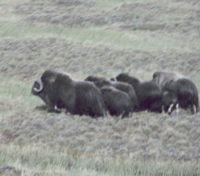 Musk oxen - Ovibos moschatus. Picture