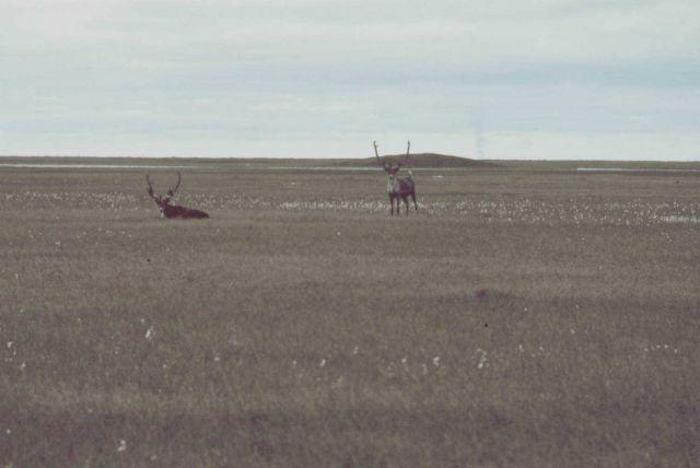 Caribou - Rangifer tarandus. Picture