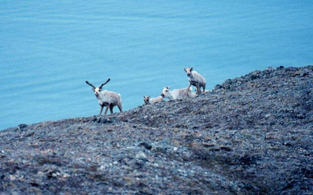 Part of a domesticated reindeer herd. Picture