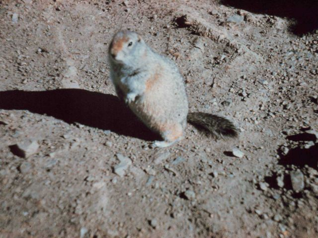 Large ground squirrel Picture