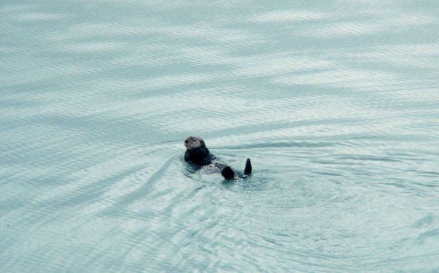 Sea otter - Enhydra lutris. Picture