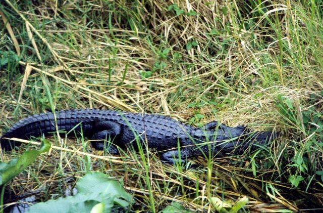 An American alligator (Alligator mississippiensis). Picture