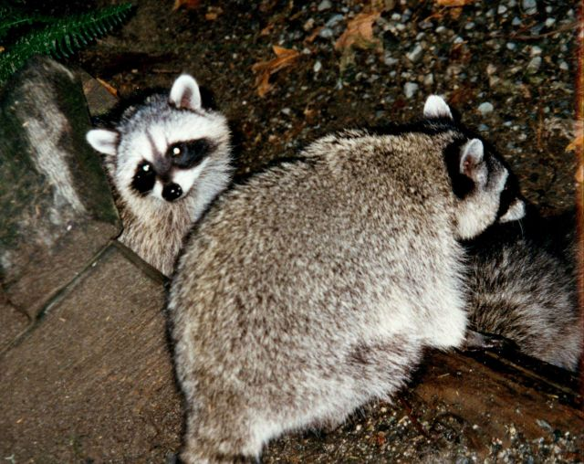 Raccoons (Procyon lotor). Picture