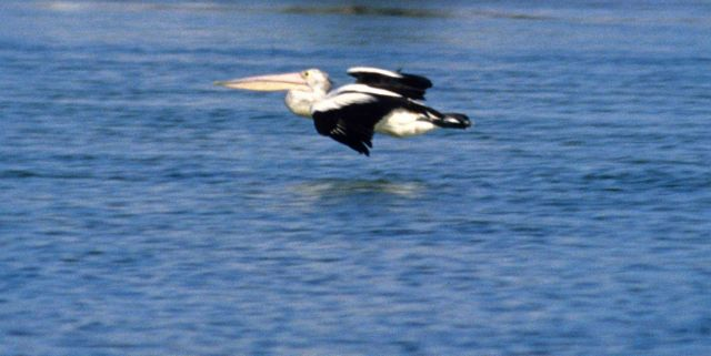 Australian pelican gliding over a calm waterway. Picture