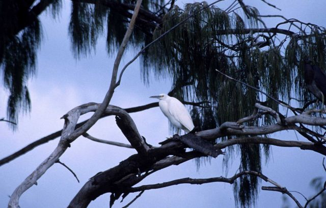Cattle egret in a tree. Picture
