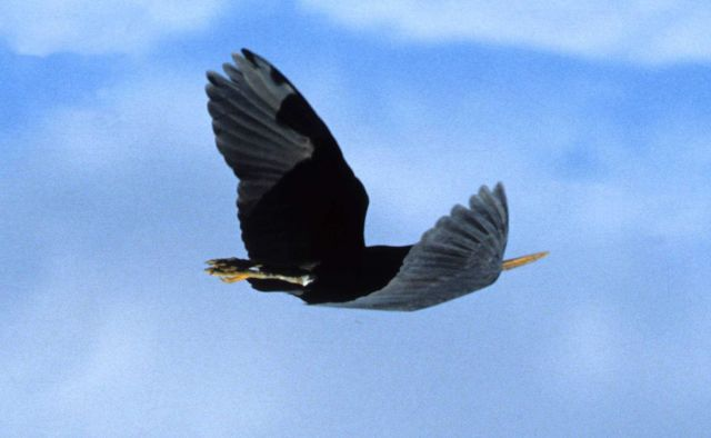 A large-billed water-bird in flight as seen looking to the starboard quarter. Picture