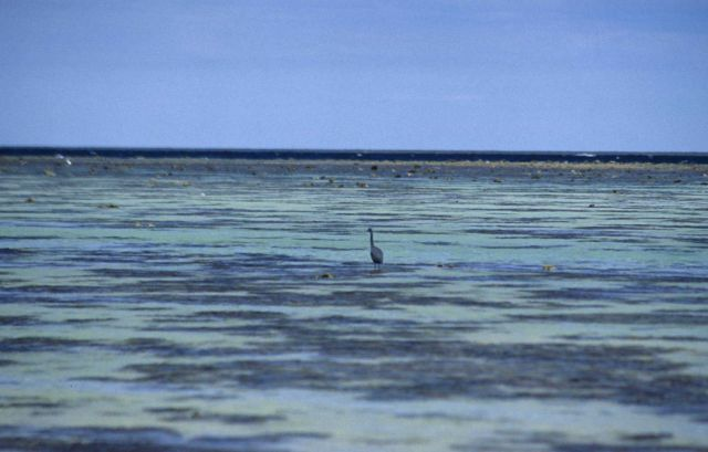 Long-legged wading bird on the reef at low tide. Picture