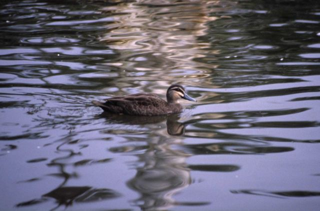 Pacific black duck. Picture