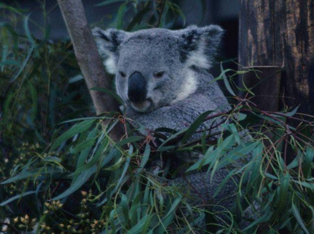 Koala bear (Phascolarctos cinereus), not a bear but an herbivorous marsupial. Picture