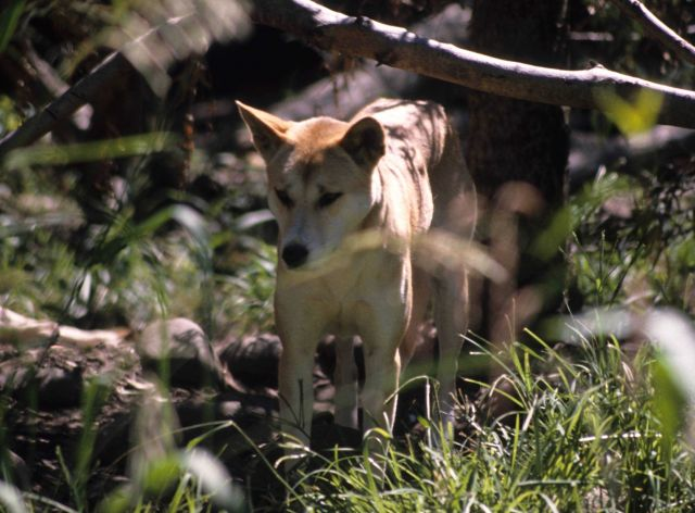 Dingo (Canis lupus dingo) Australian wild dog or warrigal as it is called. Picture