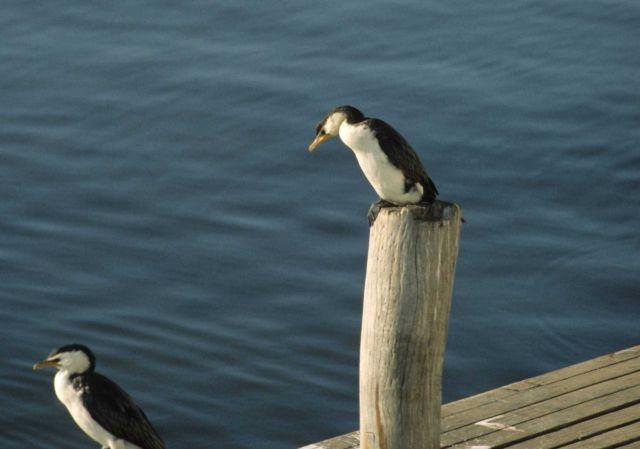 Little pied cormorant (Phalacrocorax melanoleucos). Picture