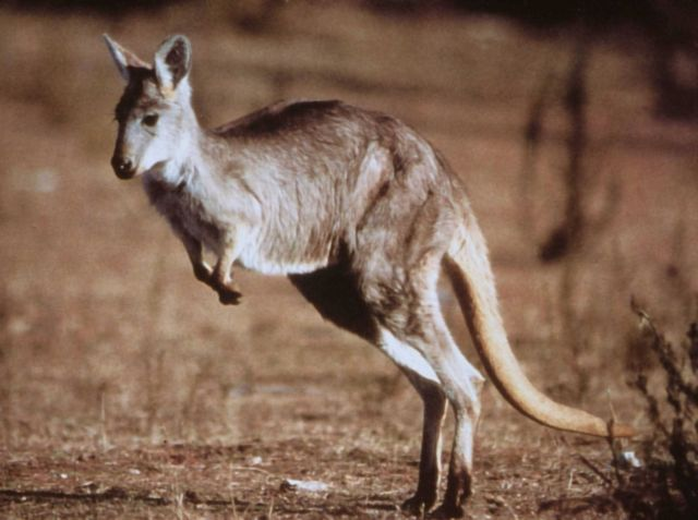 Kangaroo. Picture