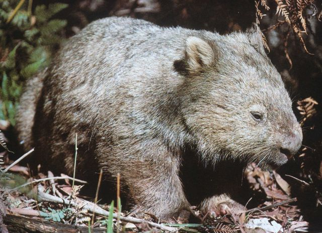 Wombat. Picture