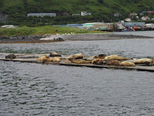 Steller sea lions (Eumetopias jubatus) hanging out in the Kodiak Harbor. Picture