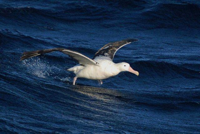 Wandering albatross. Picture