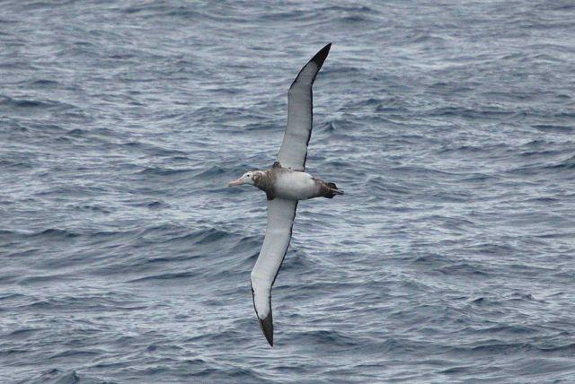 Juvenile wandering albatross. Picture