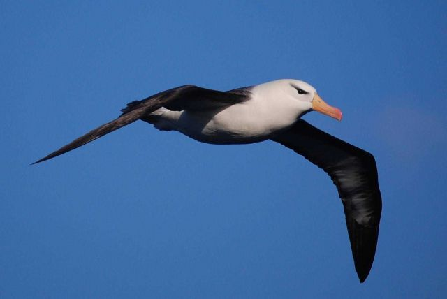 Black-browed albatross. Picture