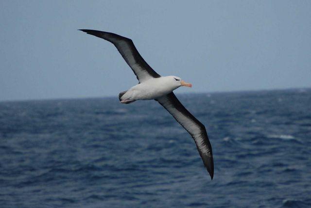 Black-browed albatross. Picture