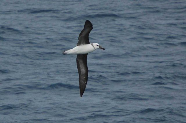Juvenile black-browed albatross. Picture