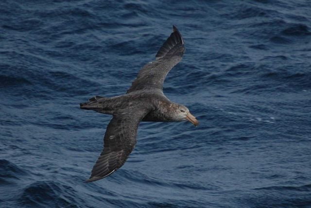 Northern giant petrel. Picture