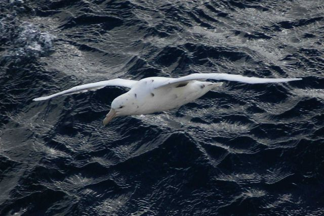 Southern giant petrel light phase. Picture