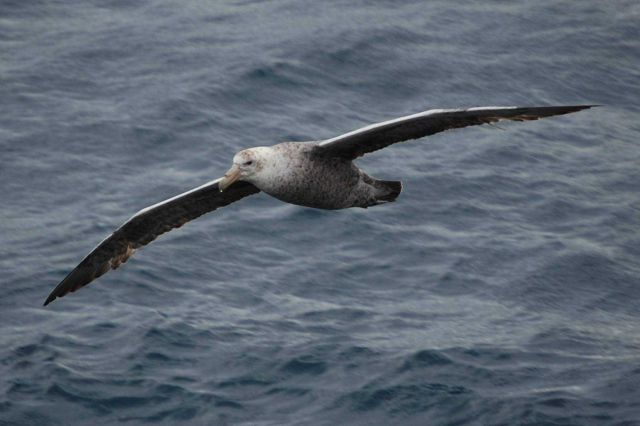 Southern giant petrel. Picture