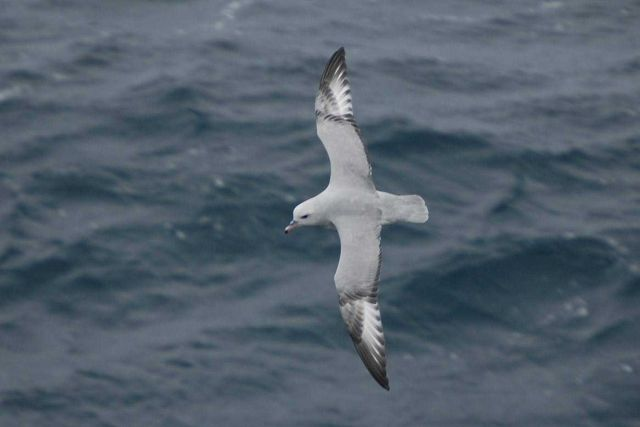 Southern fulmar. Picture