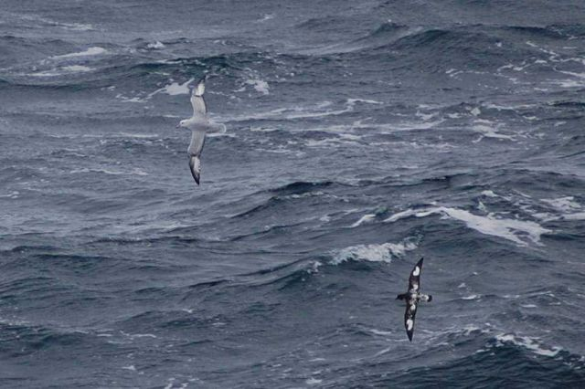Southern fulmar and cape petrel. Picture