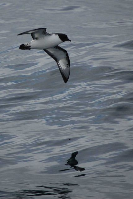 Cape petrel. Picture