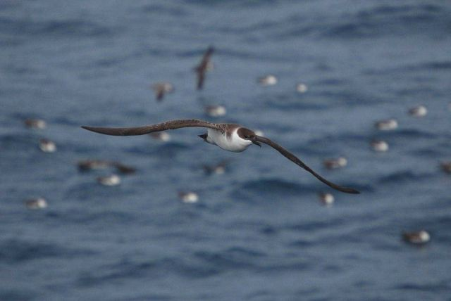 Greater shearwater. Picture