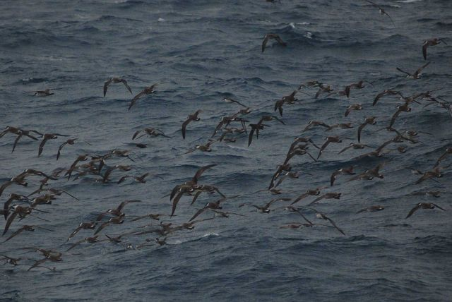 Greater shearwaters. Picture