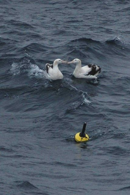 Albatross can't dine on buoy so decide to kiss instead. Picture