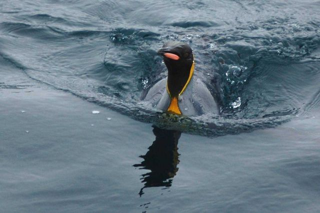 King penguin. Picture