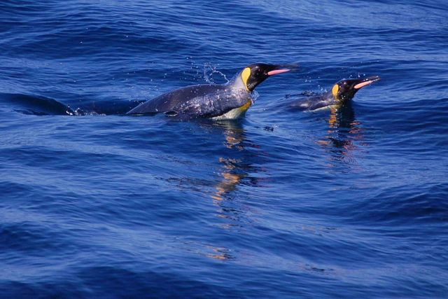 King penguins. Picture