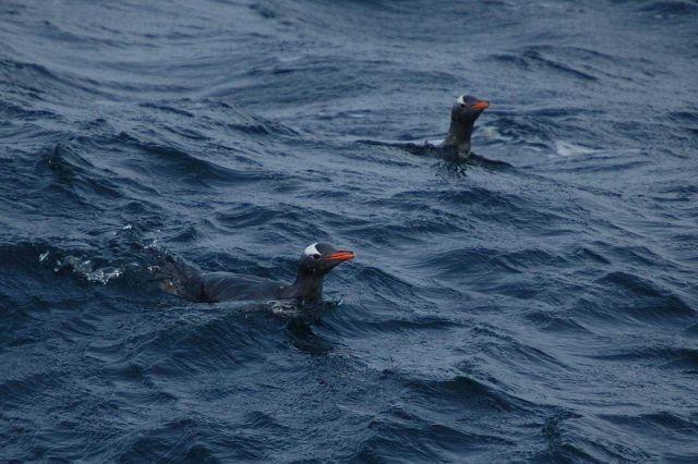 Gentoo penguins. Picture