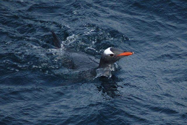Gentoo penguin. Picture