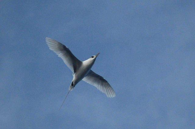 Tropic bird. Picture