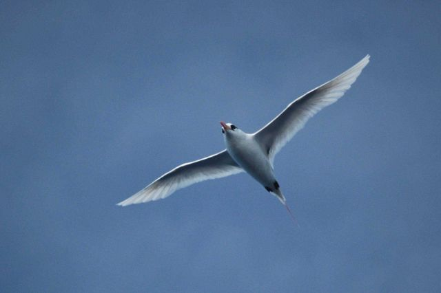 Red-tailed tropic bird. Picture