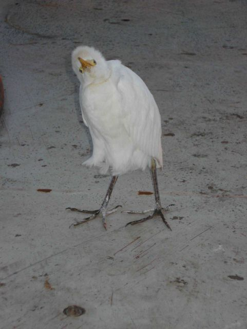Cattle egret. Picture