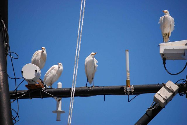 Cattle egrets. Picture