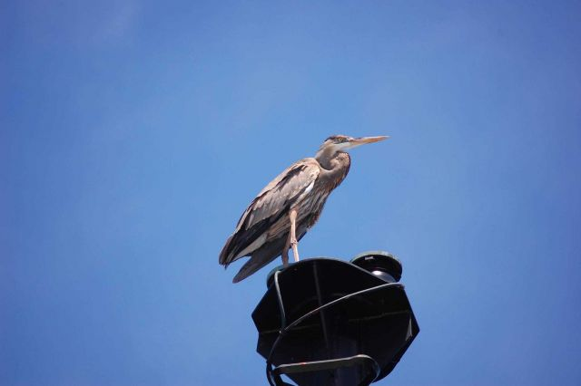 Great blue heron. Picture