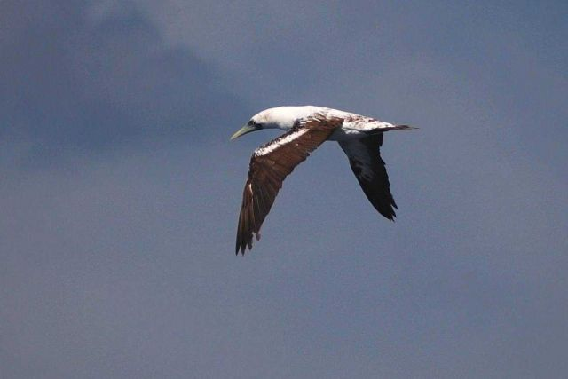 Masked booby, intermediate phase. Picture